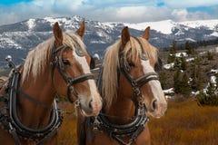 Equipo de caballos de proyecto de Bélgica en el arnés listo para ser enganchado a un carro Fotografía de archivo