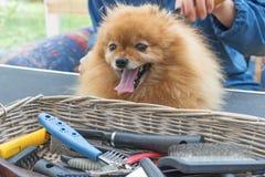 Equipo de la preparación en la cesta y el perro del perro de Pomerania Fotografía de archivo