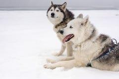 Equipo de perros de trineo en una ventisca Fotos de archivo libres de regalías