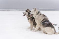 Equipo de perros de trineo en una ventisca Foto de archivo
