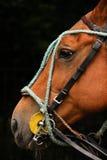 Equipo del polo Cabeza de caballo con los frenos Foto de archivo