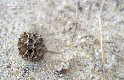 Equisetifolia van Casuarina royalty-vrije stock foto