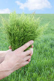 Equisetum Stock Photo