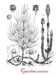 Equisetum arvense, botanical vintage engraving. Common horsetail or Equisetum arvense is a  herbaceous perennial plant with fertile stems succulent-textured. it Stock Photography