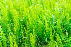 Equisetum arvense, the field horsetail or common horsetail - herbal plant stock photos