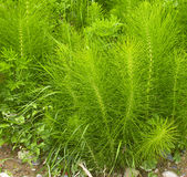 Equisetum arvense. Horsetail. Equisetum. Snake grass. Puzzlegras Stock Photo