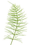 Equisetum arvense plant. Isolated on a white background Stock Photos