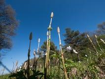 Equisetum devant le ciel bleu Photos libres de droits