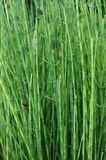 Equisetum fluviatile Royalty Free Stock Photography