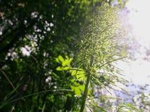 Equisetum sylvaticum in einem Wald Lizenzfreie Stockfotos
