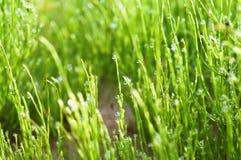 Equisetum wywodzi się zakończenie, rosa krople na zielonym Equisetum, zielonej trawy trzony i wod krople, zdjęcie stock