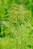 equisetumsilvaticum Arkivfoto