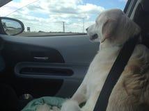 Equitação amarela de labrador retriever no assento dianteiro de um carro foto de stock