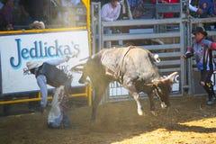 Equitação de Bull Fotografia de Stock Royalty Free