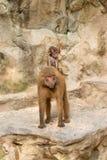A equitação do bebê do babuíno nela é a parte traseira da mãe Fotos de Stock
