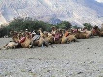 Equitação do camelo Imagem de Stock