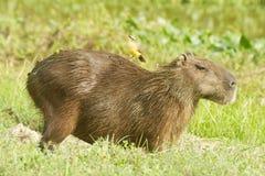 Equitação do pássaro no Capybara Fotografia de Stock Royalty Free
