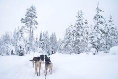 Equitação ronca do trenó em Rovaniemi, Finlandia fotografia de stock royalty free