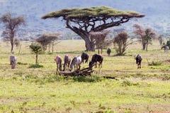 Equus зебр и голубое taurinus Connochaetes антилопы гну Стоковое Фото