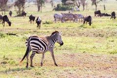 Equus зебр и голубое taurinus Connochaetes антилопы гну Стоковая Фотография