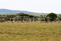 Equus зебр и голубое taurinus Connochaetes антилопы гну Стоковое Изображение RF