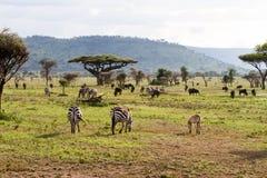 Equus зебр и голубое taurinus Connochaetes антилопы гну Стоковые Изображения