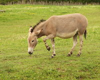Equus africanus somalicus. Somali Wild Ass. Around the world about 150 individuals live in zoos Stock Images