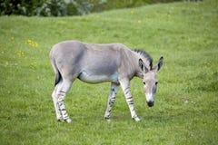 Equus africanus somaliensis,  Somali wild ass Royalty Free Stock Photography