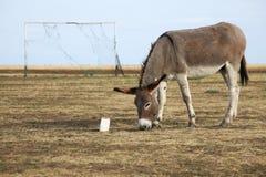 """""""Equus asinus"""" Stock Images"""