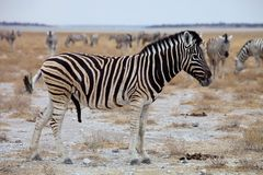 Equus burchelli antiquorum,  Damara zebra Royalty Free Stock Image