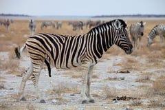 Equus burchelli antiquorum,  Damara zebra Royalty Free Stock Image