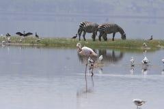 Equus Burchelli Punda Milia Lake Nakuru National Park för gemensamma sebror royaltyfri fotografi