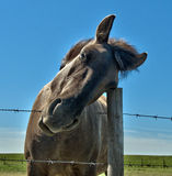 Equus caballus Royalty Free Stock Photography
