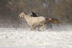 Equus ferus caballus Lizenzfreie Stockfotos