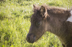Equus ferus caballus cub Royalty Free Stock Photo