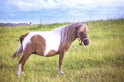 Equus ferus caballus Stock Photography