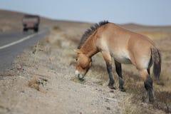 Equus ferus przewalskii Stock Photo