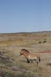 Equus ferus przewalskii Stock Image