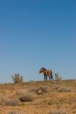 Equus ferus przewalskii wild horse Royalty Free Stock Photography