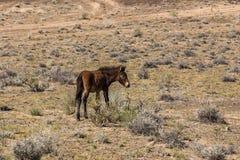 Equus ferus przewalskii wild horse Royalty Free Stock Image