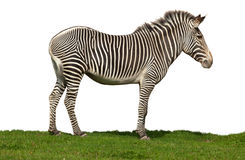 Equus grevyi, Grevy's zebra Royalty Free Stock Photography