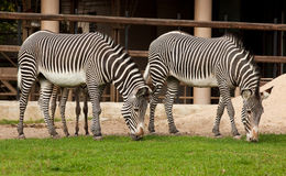 Equus grevyi, Grevy's zebra. Two identical zebras are grazed on a green lawn Royalty Free Stock Images