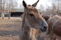 Equus hemionus im Zoo Lizenzfreie Stockfotografie