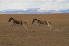Equus kiang Royalty Free Stock Image