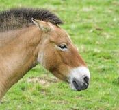 Equus przewalskii Royalty Free Stock Photo