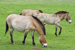 Equus przewalskii - wild horses. On meadow Royalty Free Stock Photography