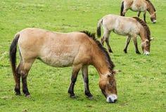 Equus przewalskii - wild horses. On meadow Royalty Free Stock Image