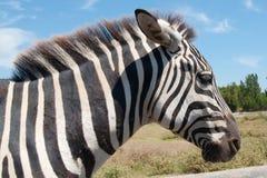 Equus quagga Stock Image