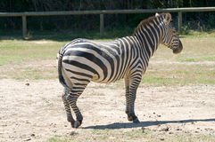 Equus quagga Royalty Free Stock Photography