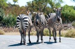 Equus quagga Royalty Free Stock Image